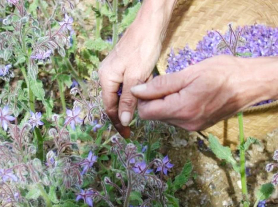 Plantes à Parfum, Aromatique et Médicinale