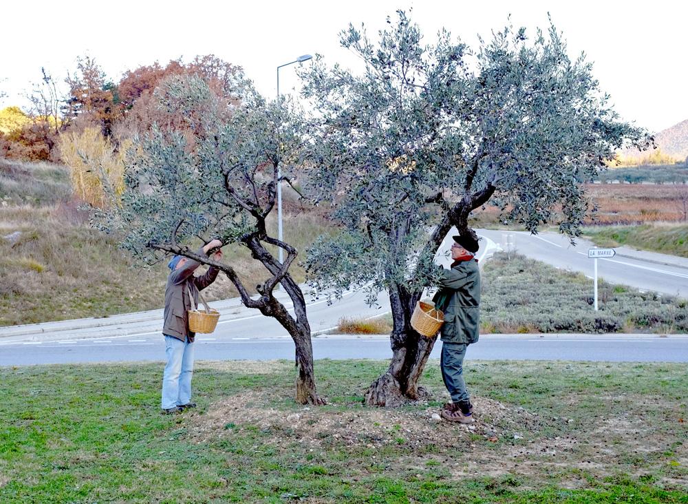 Cueillette solidaire des oliveraies